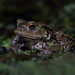 Common Toad, Bufo bufo by Midlands Reptiles & British Wildlife Diaries