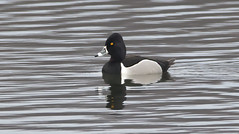 Ring-necked Duck (Male)