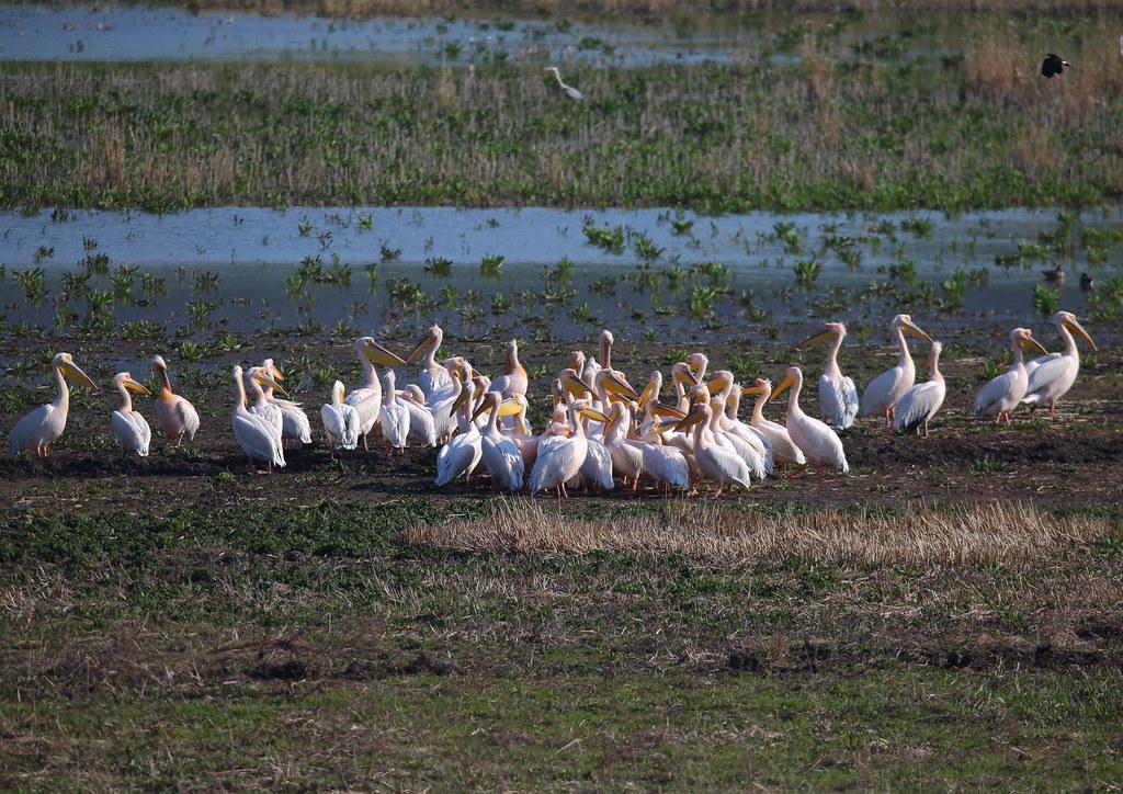 Pelicani_1 aprilie17_01