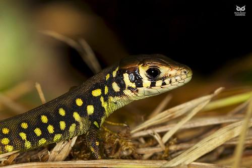 Lagarto-de-agua, Iberian Emerald Lizard (Lacerta schreiberi)