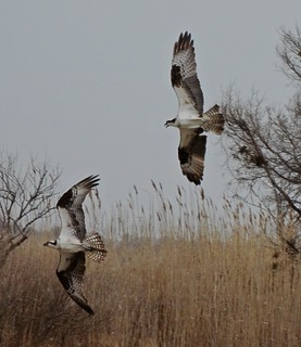 Pair of Ospreys in Flight