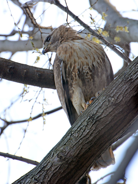 Red-Tailed Hawk (6901)