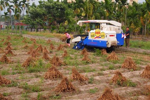 大豆田裡豎著一把一把用人工拔起晾曬的大豆植株。李育琴攝