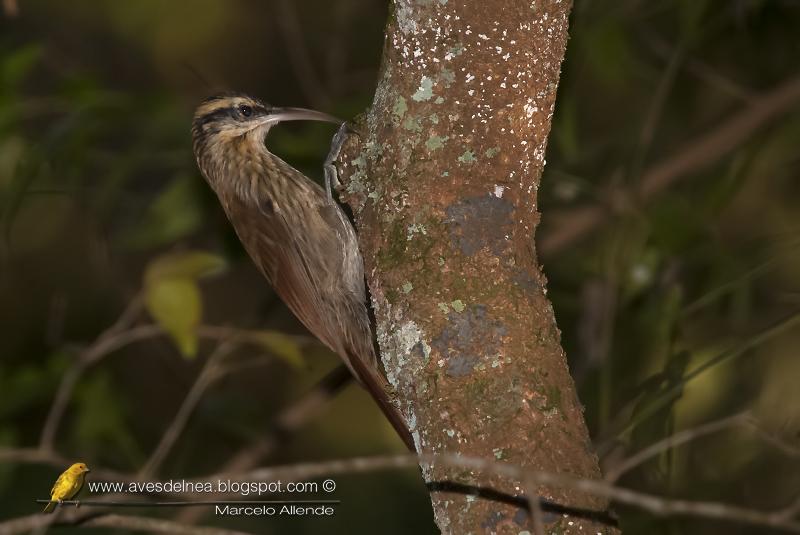Chinchero chico (Narrow-billed Woodcreeper) Lepidocolaptes angustirostris