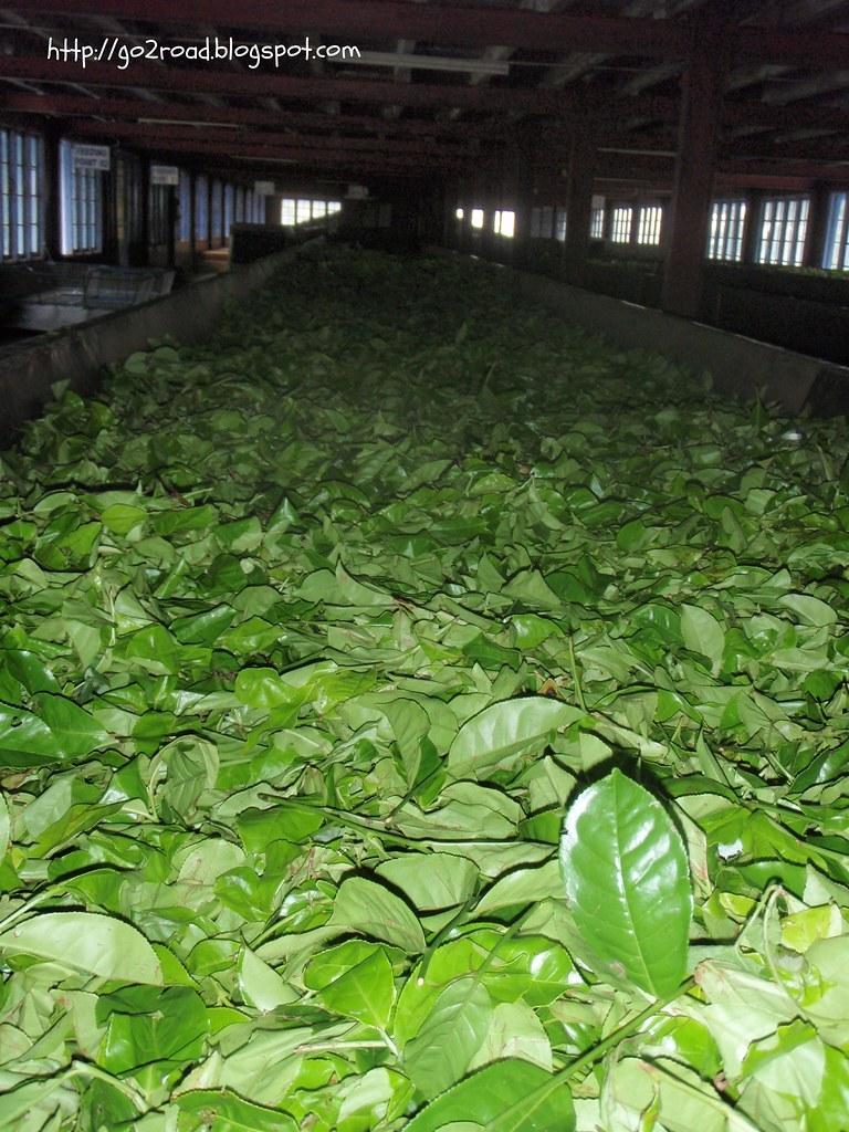 Сушат чайные листы на Цейлоне