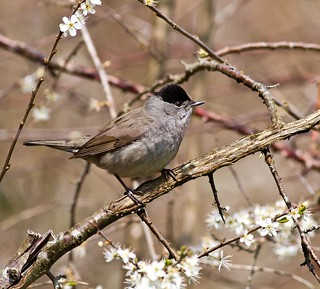 Male Blackcap-A Shy Beauty !!