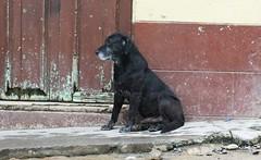 pet(0.0), cane corso(0.0), animal(1.0), dog(1.0), street dog(1.0), mammal(1.0),