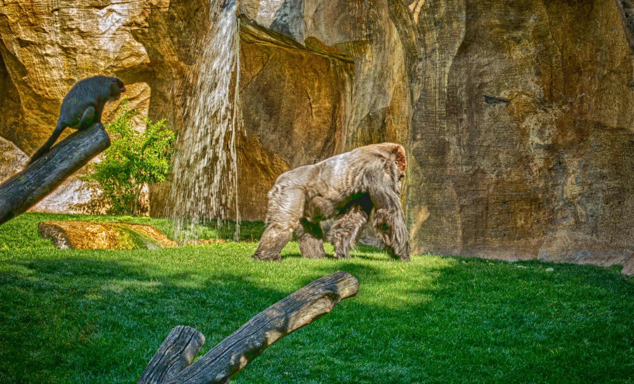 gorilla monkey biopark fuengirola.jpg