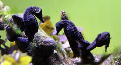 seahorse, animal, purple, macro photography, fauna, freshwater aquarium, close-up, reef,