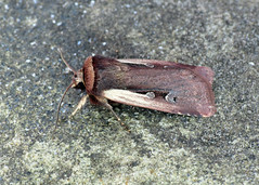 2102 Flame Shoulder - Ochropleura plecta