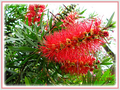 Brilliant flowers Callistemon citrinus (Red Bottlebrush, Crimson/Lemon Bottlebrush), seen at Genting Highlands