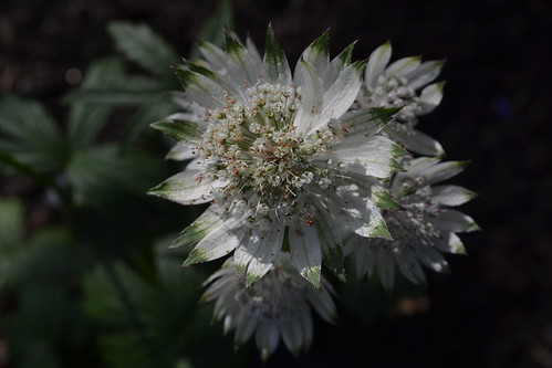 ASTRANTIA major ssp. involucrata 'Snape Cottage'