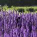 birdie in purple