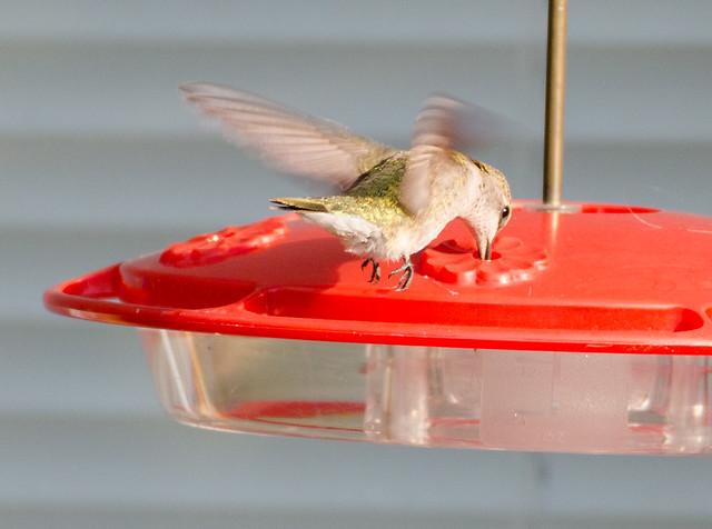 hummingbird_20140509_162