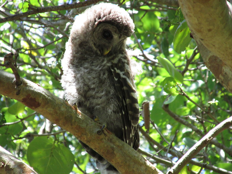 Baby Barred owl looks at people
