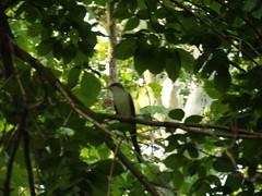 yellow-billed cuckoo, Bob Woodruff Park,Plano, Texas