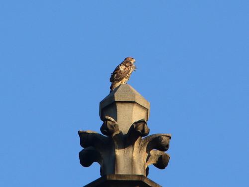 Cathedral Hawk Fledgling (2808)