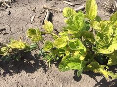 IronChlorosis in Soybeans-closeup