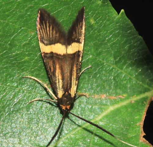 Nemophora degeerella 29883