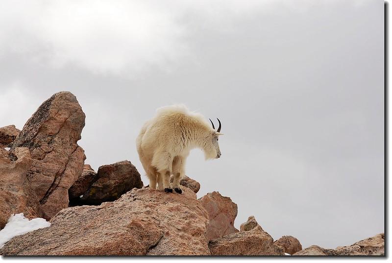 Mountain goats 3