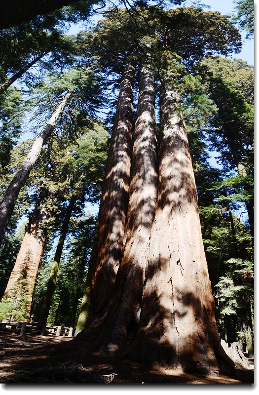 Sequoia trees in General Sherman Trail