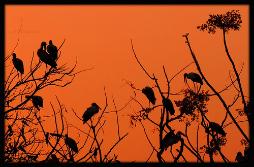 trees sunset red bird nature silhouette cranes resting nikoncoolpixp520 tripuraindia