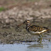 uttampegu posted a photo:	Greater Painted Snipe in Menar, Udaipur in June