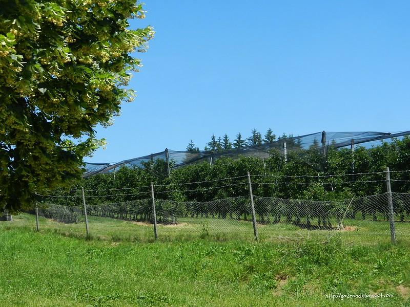 Яблочные сады Словении