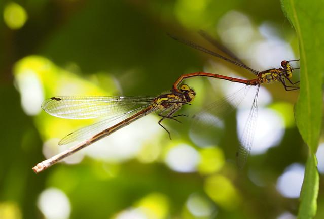 parende libelles