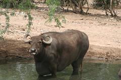 adventure(0.0), indian elephant(0.0), rhinoceros(0.0), safari(0.0), cattle-like mammal(1.0), animal(1.0), water buffalo(1.0), working animal(1.0), mammal(1.0), horn(1.0), fauna(1.0), wildlife(1.0),