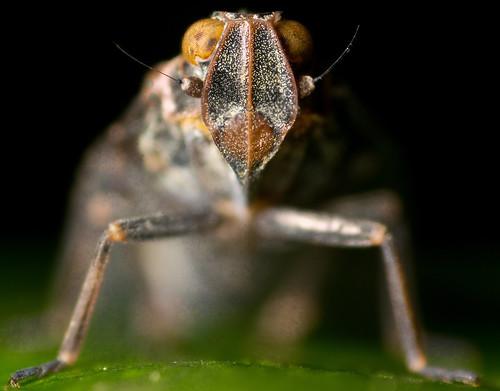 Irish Bug