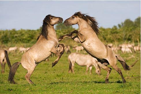 於Oostvaardersplassen自然保留區野放之野馬(圖片來源:Rewilding Europe)