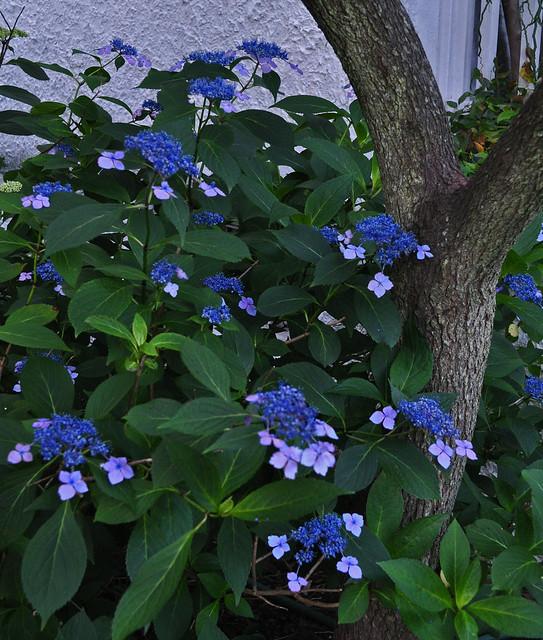 Hydrangea macrophylla serrata 'Bluebird'