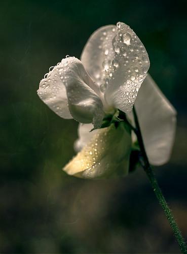 White sweet pea // 11 07 14