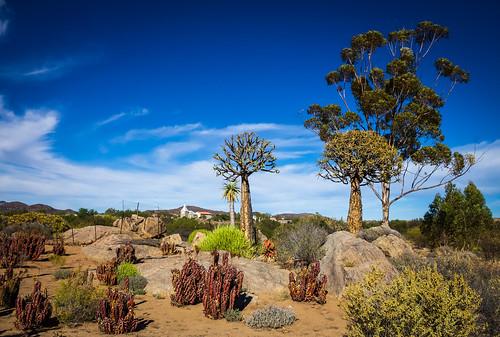nature landscape southafrica aloe kokerboom namaqualand northerncape eucalyptustree kamieskroon