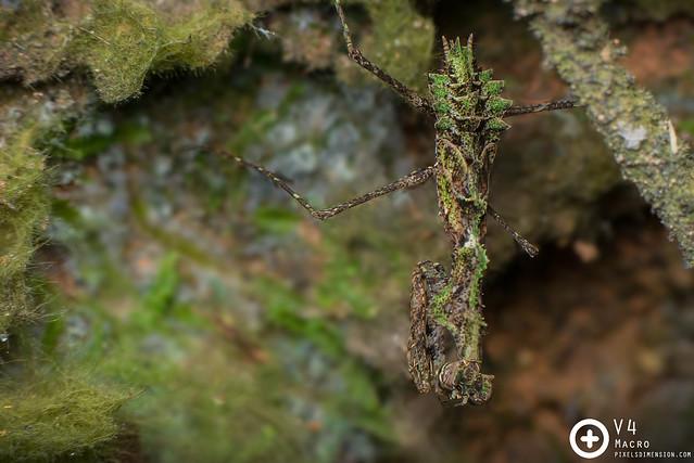Moss mantis- Haania sp.
