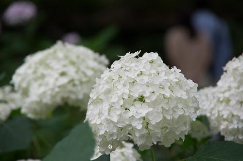 紫陽花/hydrangea