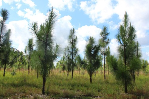 A private landowner in Hancock County, Miss. is restoring a longleaf pine forest on his land.