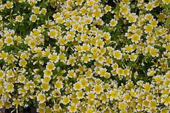 Limnanthaceae