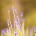 Lavender by Bhalalhaika