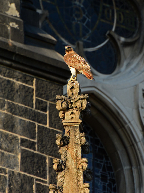 Cathedral Hawk - 3711
