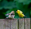 Gold Finch-Immature and Adult