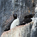 Brunnich's Guillemots on nesting ledge (Bret Charman)