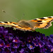Small photo of Small Tortoiseshell