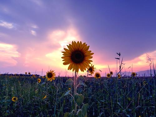 flower nature flora greece sunflower fields ελλαδα φυση λουλουδι dhrama ηλιοτρόπιο canonnature χωράφι αγρόσ δραμα greekflower canongreece ηλίανθοσ canonflower doxato δοξατο greeksunflower