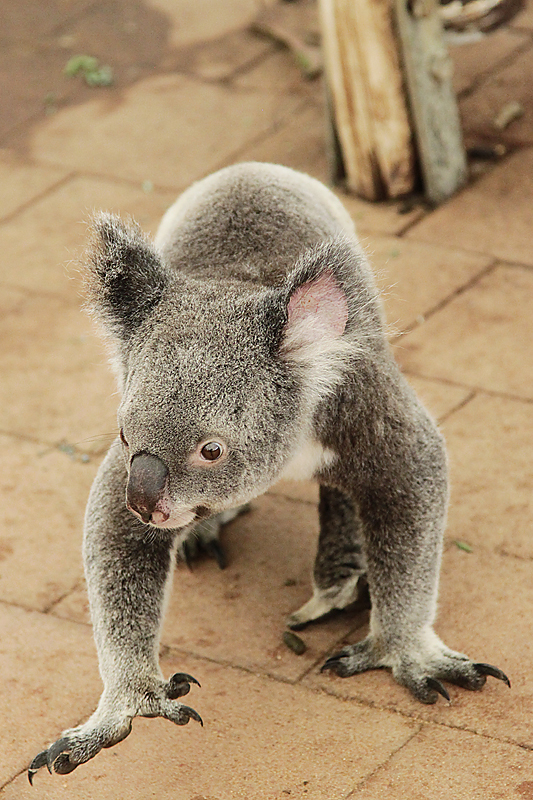 KoalaSanctuary11