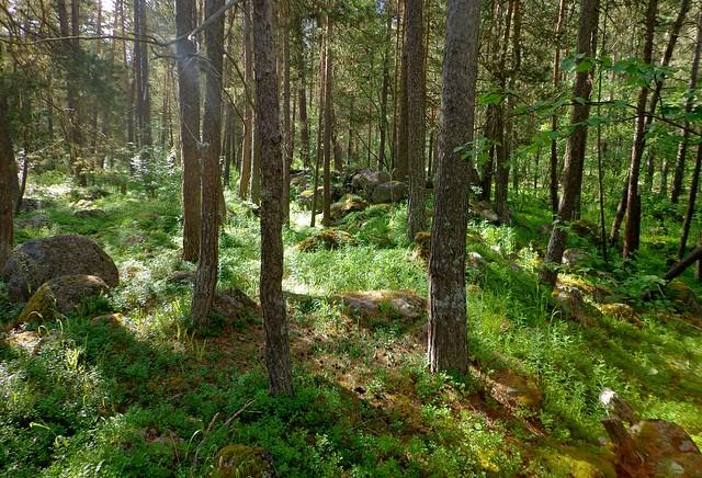 Сосновый лес в Терсокле