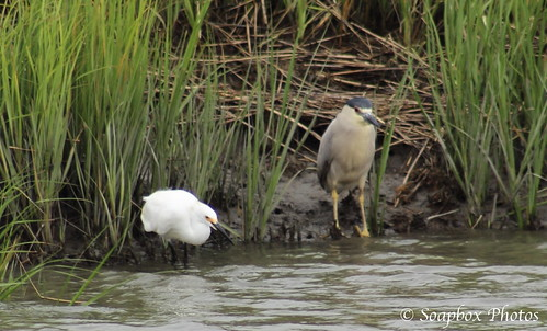 """Snowy Egret and Black-crowned Night Heron"""