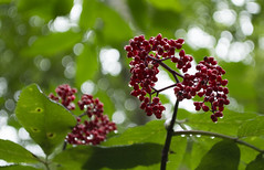 flower, branch, leaf, plant, flora, fruit, currant,