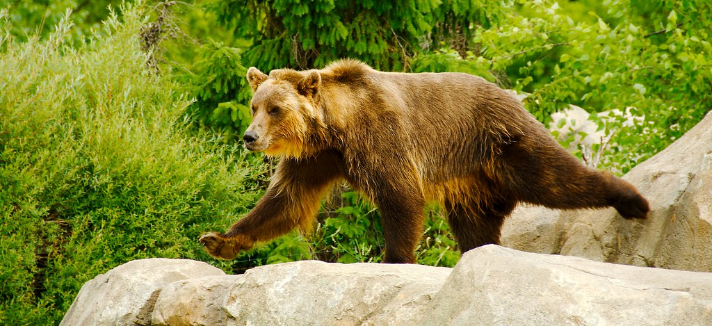 Grizzly Bear_12